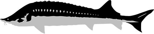 caviarstar-kaluga-pic-black3-small.jpg